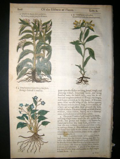 Gerards Herbal 1633 Hand Col Botanical Print. Comfrey, Hounds Tongue | Albion Prints